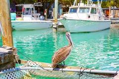 Grote bruine pelikanen in Islamorada, de Sleutels van Florida stock afbeelding