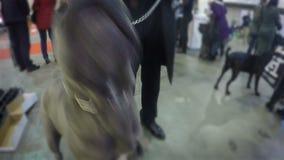 Grote bruine pitbull die agressief en watchfully vreemdeling, veiligheid bekijken stock footage