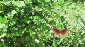 Grote bruine vlinder stock footage