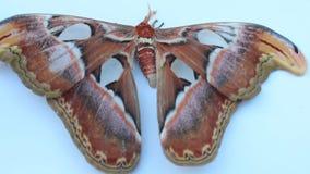 Grote bruine vlinder op witte achtergrond stock footage