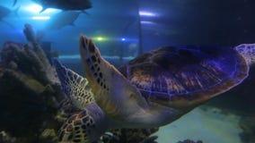 Grote bruine zeeschildpad stock footage