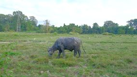 Grote buffelskudde stock footage