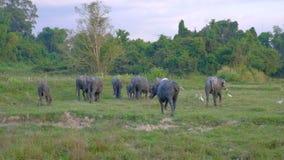 Grote buffelskudde stock videobeelden