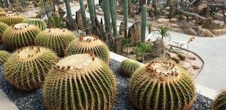 Grote Cactus royalty-vrije stock fotografie