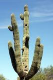 Grote Cactus Royalty-vrije Stock Foto's