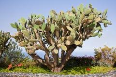 Grote cactus bij La Palma, Spanje Stock Foto's