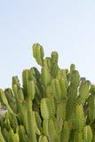 Grote cactus van Cyprus Royalty-vrije Stock Fotografie