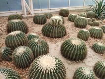 grote cactus in woestijn stock foto