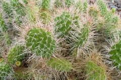 Grote cactusnaalden Stock Foto's