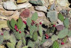 Grote cactusnaalden en vruchten Stock Fotografie