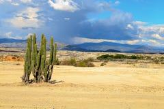 Grote cactussen in rode woestijn Stock Foto's