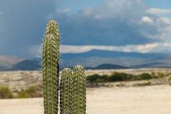 Grote cactussen in rode woestijn, tatacoawoestijn, Colombia, Latijnse amer Stock Foto