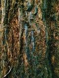 Grote Californische sequoiaboom Royalty-vrije Stock Foto's