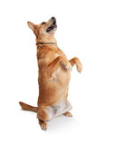Grote Carolina Dog Sitting Up Begging royalty-vrije stock foto