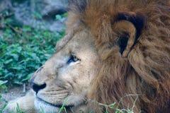 Grote Cat Big-leeuw Stock Afbeelding