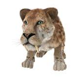 Grote Cat Smilodon Stock Afbeelding