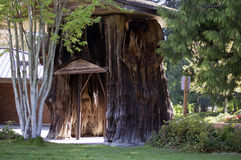Grote Cederboom Royalty-vrije Stock Afbeelding