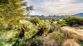 Grote Cholla-Cactus en veel andere cactussen en struiken in het bergachtige woestijnlandschap dichtbij Meer Bartlett stock foto