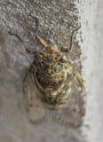 Grote Cicade op grijze muur royalty-vrije stock fotografie
