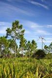 Grote Cipres Pinelands Royalty-vrije Stock Foto's
