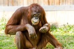 Grote Close-up van Orangutang Stock Afbeeldingen