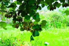 Grote cluster van kiwi op de boom Stock Foto's