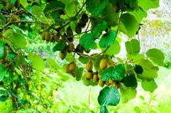 Grote cluster van kiwifruit Royalty-vrije Stock Afbeelding
