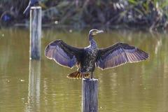 Grote Cormoran Stock Foto's