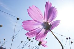 Grote cosmosï ¼ ˆGesang flowersï ¼ ‰ Stock Foto's