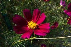 Grote cosmosï ¼ ˆGesang flowersï ¼ ‰ Stock Foto