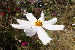 Grote cosmosï ¼ ˆGesang flowersï ¼ ‰ Royalty-vrije Stock Foto's