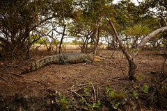 Grote Croc Royalty-vrije Stock Foto's
