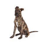 Grote Dane And Boxer Mix Puppy-Zitting royalty-vrije stock afbeelding