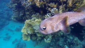 Grote de camera langzame motie van stekelvarkenvissen stock videobeelden
