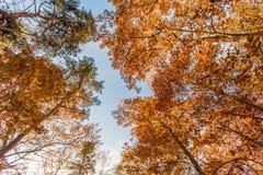 Grote de herfstbomen die van onderaan naar de hemel worden gezien stock fotografie
