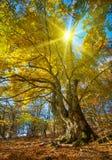 Grote de herfstboom Stock Fotografie