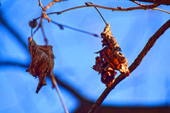 Grote details! Eenzaam, nog geel en de bladeren hebben droog, vsyat op de takken van bomen onder een heldere, blauwe de winterhem Stock Foto's