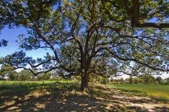 Grote dichte mangobomen in landbouwbedrijven royalty-vrije stock afbeeldingen