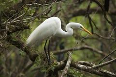 Grote die aigrette in een boom in Florida wordt neergestreken everglades royalty-vrije stock fotografie