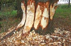 Grote die boomboomstam door een bever wordt geknaagd aan stock foto