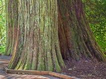 Grote die boomboomstammen met mos en korstmos worden behandeld stock foto