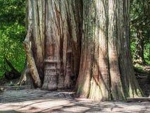 Grote die boomboomstammen met mos en korstmos worden behandeld royalty-vrije stock foto's