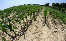 Grote die cornfield met fisheyelens 2 wordt gefotografeerd Stock Afbeelding