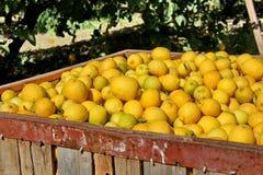Grote die dozen met citroenen worden gevuld Stock Afbeelding