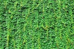 Grote die muur door groene klimopbladeren wordt behandeld stock afbeelding