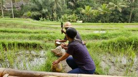 Grote die rotsen in heldergroene mos en lianas worden behandeld stock footage