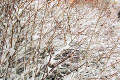 Grote die rozebottelstruiken met eerste pluizige sneeuw in de winter worden behandeld royalty-vrije stock foto