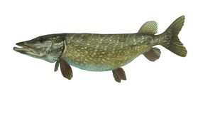 Grote die snoekenesox vissen op witte achtergrond worden geïsoleerd stock foto