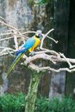 Grote donkerblauwe en gele papegaai Stock Foto's