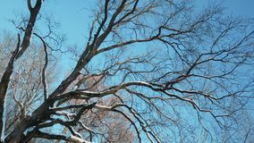 Grote droge boom tegen blauwe hemel stock video